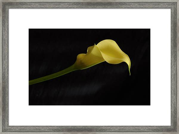 Calla Lily Yellow II Framed Print