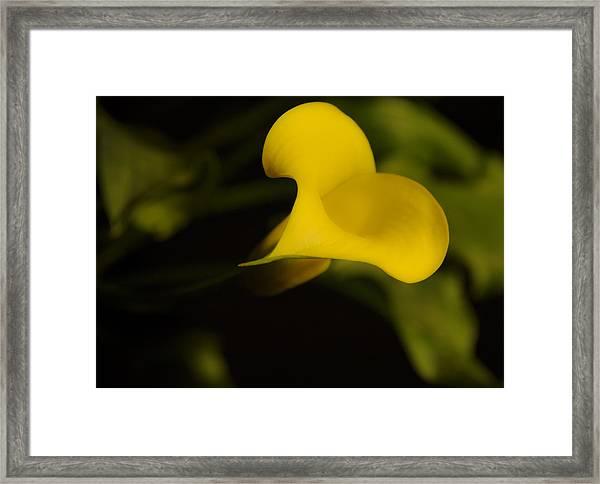 Calla Lily Yellow IIi Framed Print