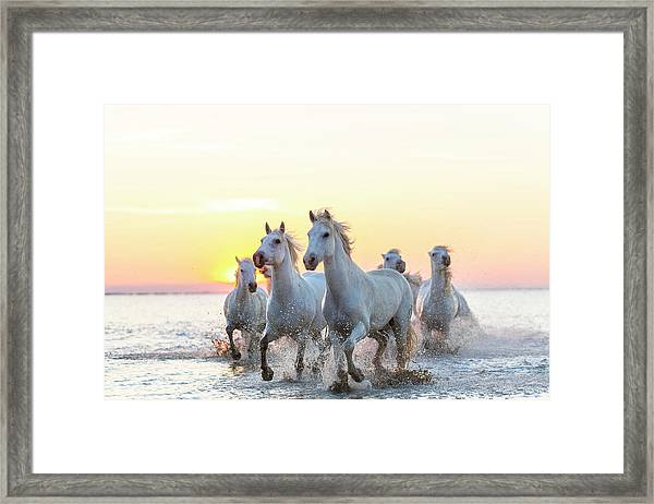 Camargue White Horses Running In Water Framed Print