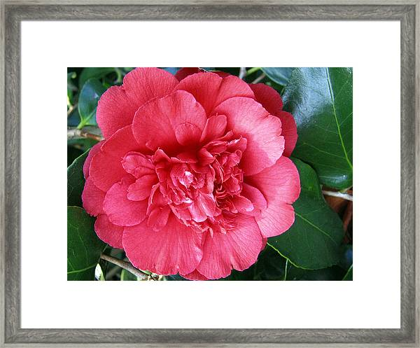 Camellia 1 Framed Print
