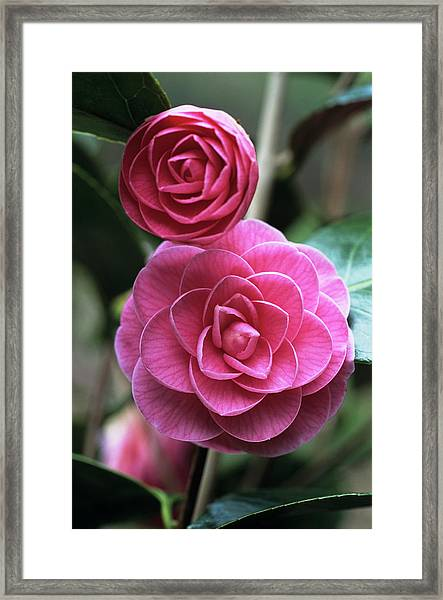 Camellia Flowers Framed Print by Adrian Thomas/science Photo Library