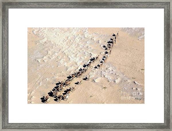 Camels Walking In Desert Framed Print