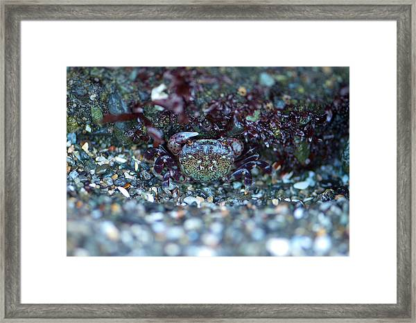 Camouflaged Crab Framed Print by Sarah Crites
