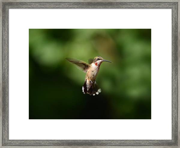 Can You See My Red Feathers Framed Print