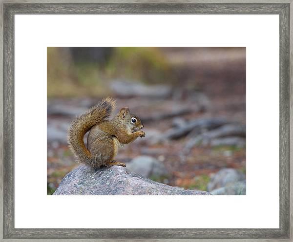 Canada, Alberta A Douglas Squirrel Framed Print