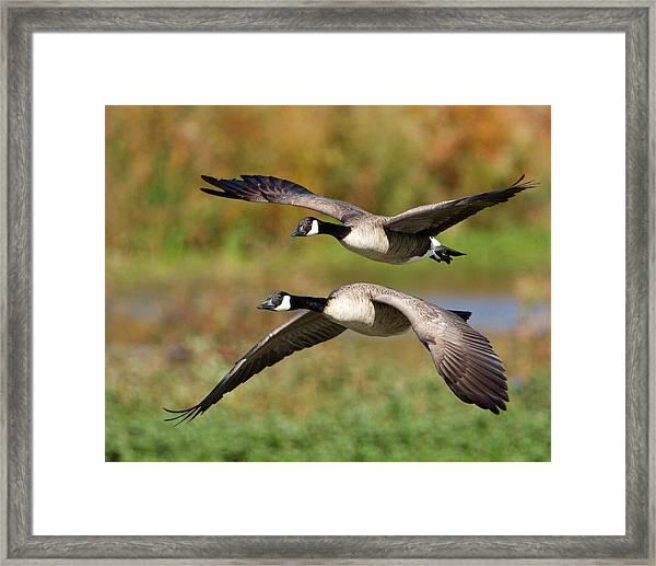 Canada Geese Flying Framed Print