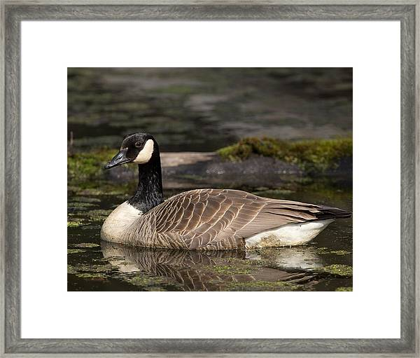 Canada Goose Framed Print by Brian Magnier