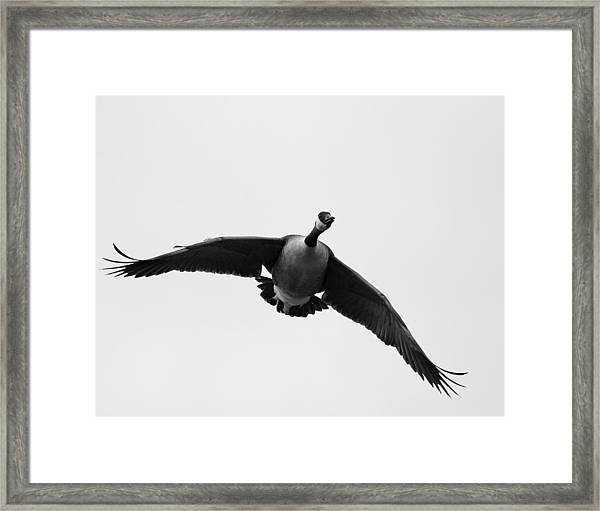 Canada Goose In Black And White Framed Print by Brian Magnier