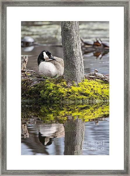 Canada Goose On Nest Framed Print