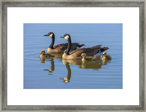 Canada Goose With Chicks Framed Print