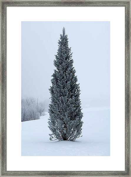 Canadian Pine In Winter Framed Print