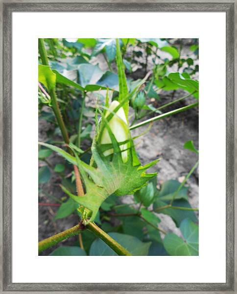 Candle Cotton Bud #1 - Blooming Cotton Series  8/22/2012 Framed Print by Dianna Jackson