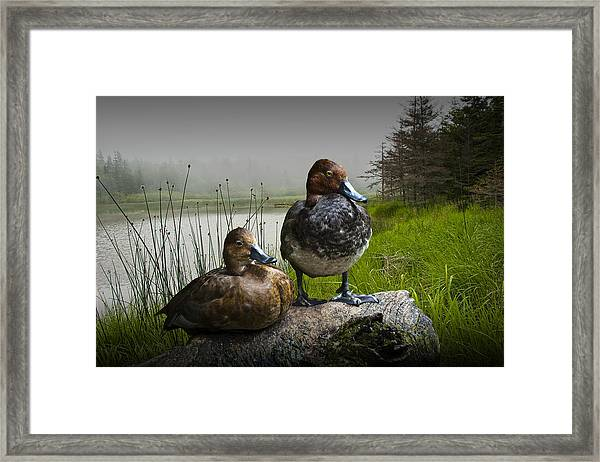 Canvasback Duck Pair By A Pond Framed Print