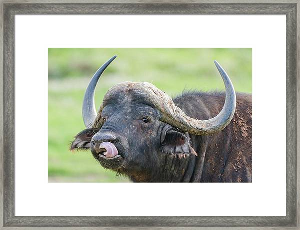 Cape Buffalo Licking Its Lips Framed Print by Peter Chadwick