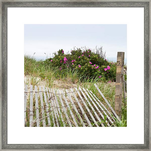 Cape Cod Beach Roses Framed Print