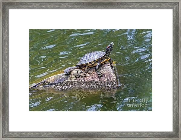 Captain Turtle Framed Print