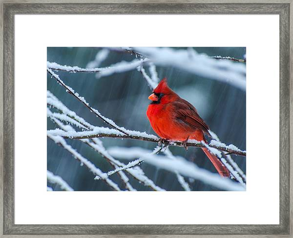 Cardinal In A Storm  Framed Print