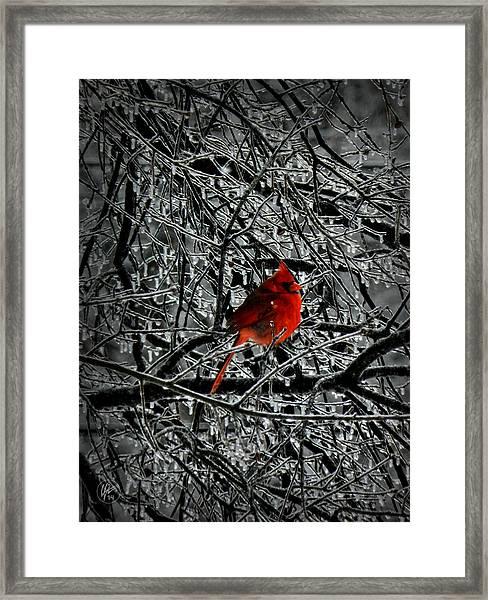 Cardinal In An Ice Storm 001 Framed Print