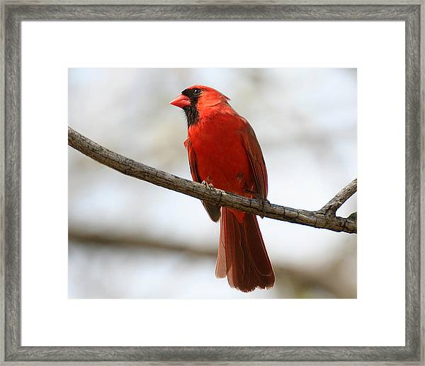 Cardinal On Branch Framed Print