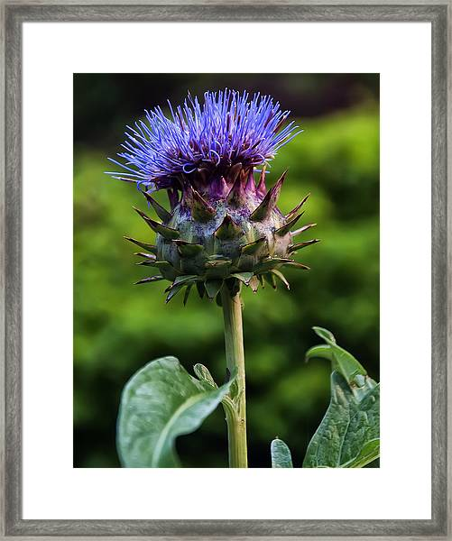 Cardoon Framed Print