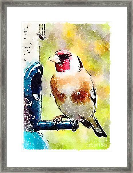 Carduelis Carduelis 'waterfinch' Framed Print