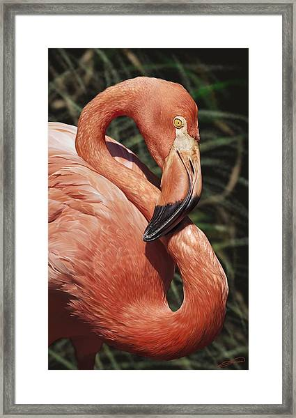 Caribbean Flamingo Framed Print by Owen Bell