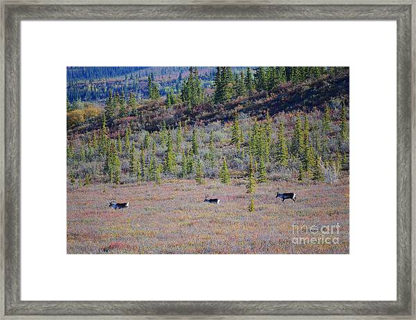 Framed Print featuring the photograph Caribou In Alaska by Kate Avery