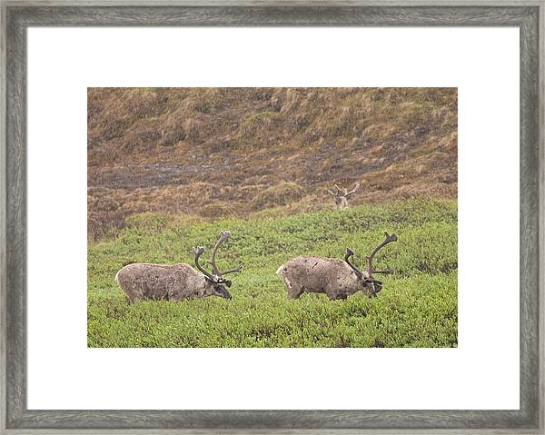 Caribou In The Rain Framed Print by Brian Magnier