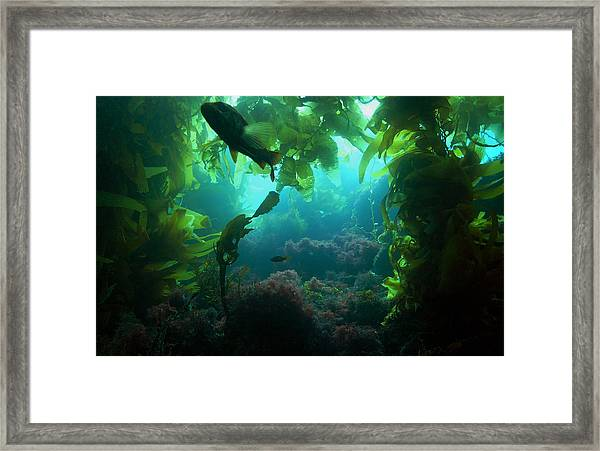 Catalina Kelp Forest Framed Print