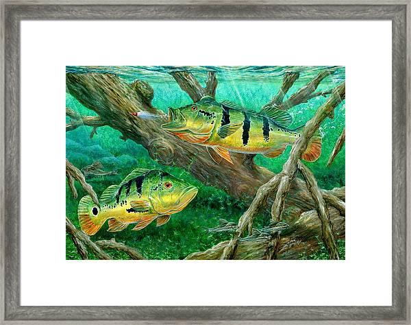 Catching Peacock Bass - Pavon Framed Print