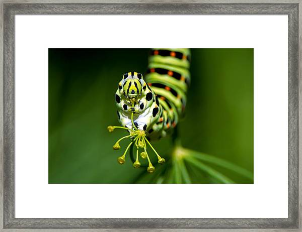 Caterpillar Of The Old World Swallowtail Framed Print