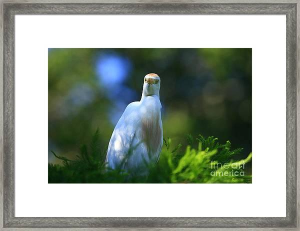 Cattle Egret Eyes Framed Print