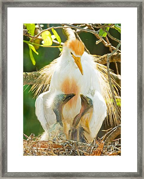Cattle Egret With Young In Nest Framed Print