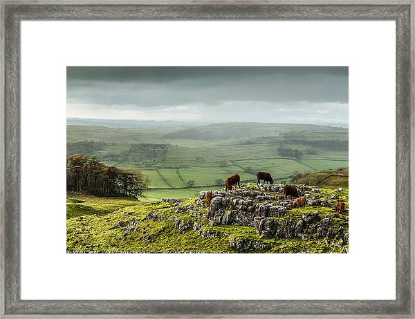 Cattle In The Yorkshire Dales Framed Print