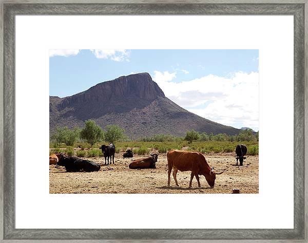 Cattle On The Ranch Framed Print by Mark Polott