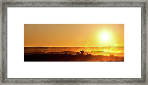 Cattle Silhouette Panorama Framed Print by Imaginegolf