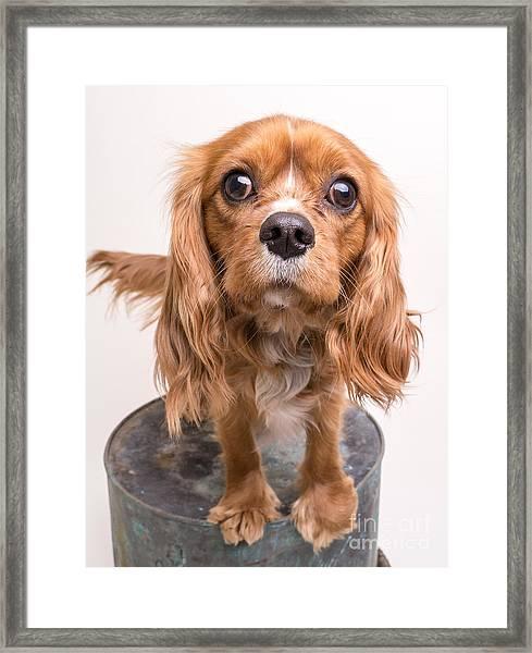 Cavalier King Charles Spaniel Puppy Framed Print
