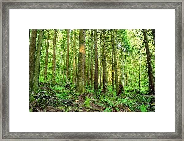 Cedar Forest Framed Print