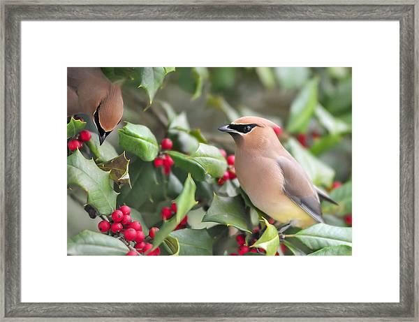 Cedar Waxwing In Holly Tree Framed Print
