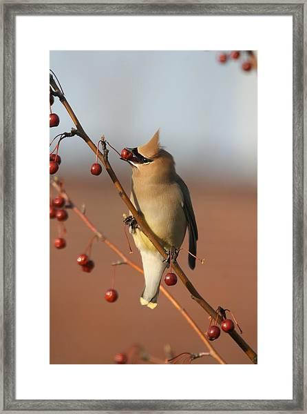 Cedar Waxwing Framed Print by Brian Magnier