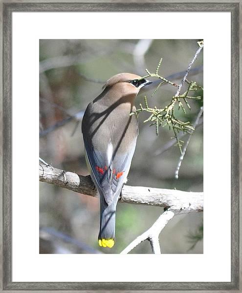 Cedar Waxwing Framed Print