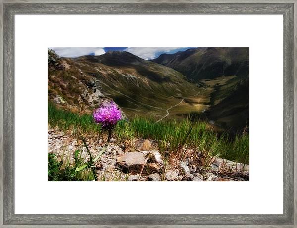 Centaurea Framed Print