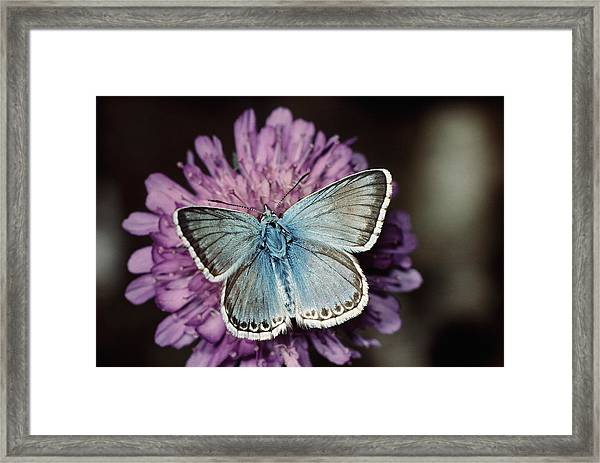 Chalkhill Blue Butterfly (lysandra Coridon), Close-up Framed Print by Alan P Barnes