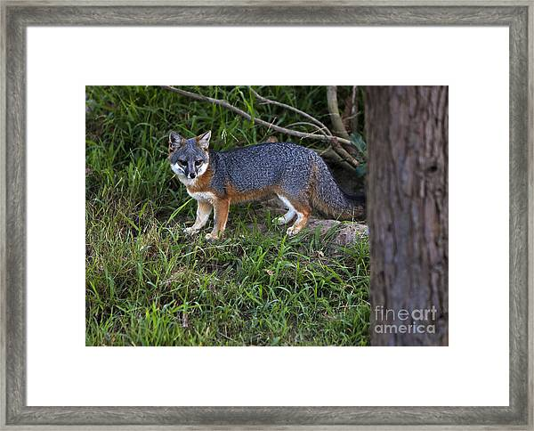 Channel Island Fox Framed Print