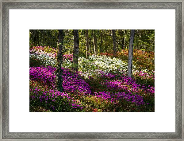 Charleston Sc Azalea Flowers And Sunlight - Fairytale Forest Framed Print