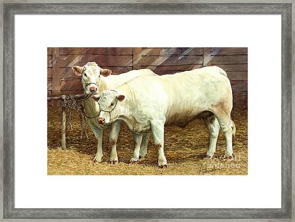 Charolais Heifers Framed Print