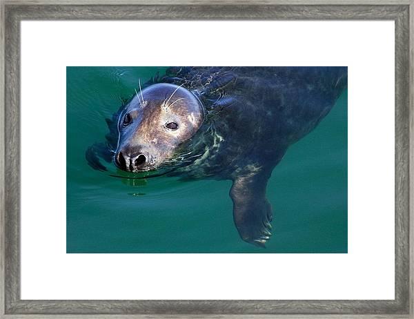 Chatham Harbor Seal Framed Print