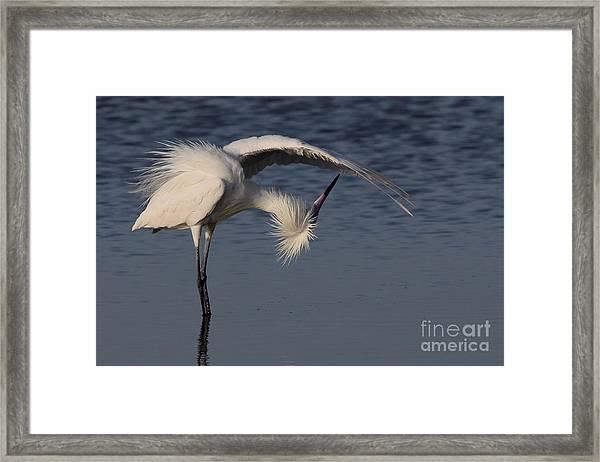 Checking For Leaks - Reddish Egret - White Form Framed Print