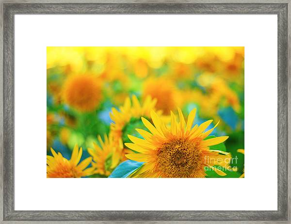 Cheerful And Happy Yellow Sunflower Field In Summer Framed Print