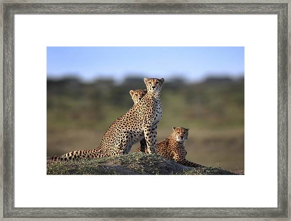Cheetahs Family Framed Print